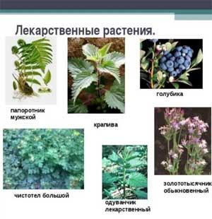 НОД по экологии Лекарственные растения