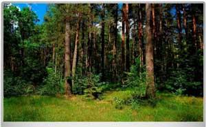 Конспект НОД с детьми старшей группы на тему: «Разные леса»