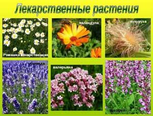 Проект по экологии для детей раннего возраста «В мире целебных растений»